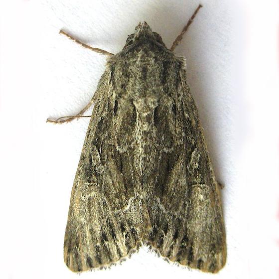 Spalding's Quaker Moth - Apamea spaldingi
