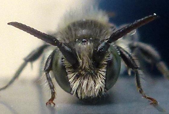 Small Bee - Hoplitis producta