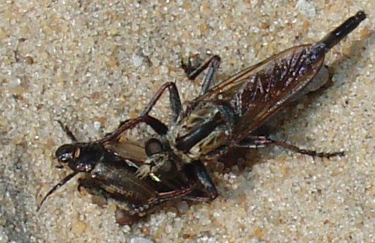 robber fly- feeding on beetle - Proctacanthus brevipennis
