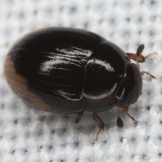 Water Scavenger Beetle IMG_1675 - Cercyon praetextatus