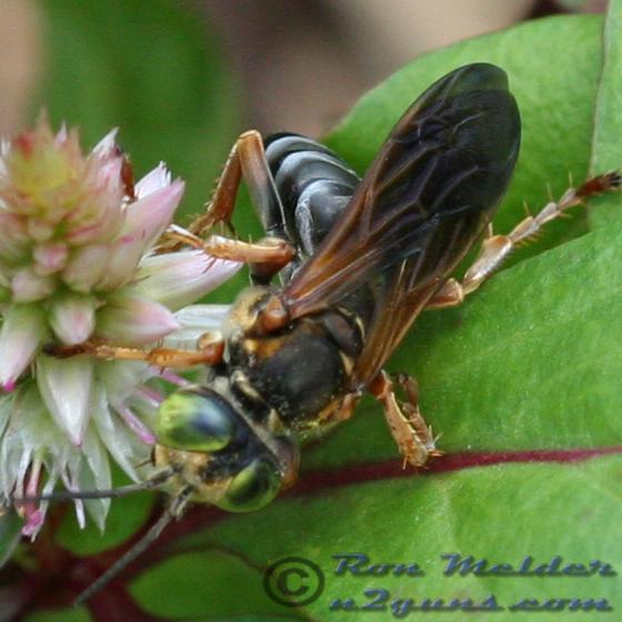 Wasp 03 - Tachytes - female