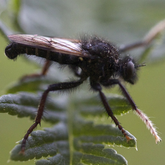 Robber Fly - white distal portion of front legs - Cyrtopogon jemezi - male
