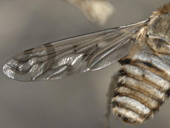 Bombyliidae?  Canidae? - Poecilanthrax