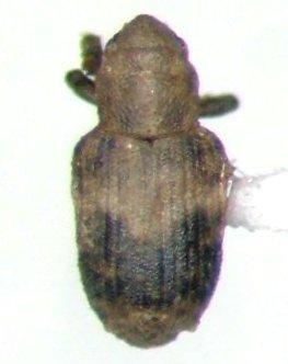 Wee Weevil - Bagous pusillus