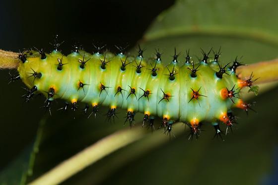 Silkworm caterpillar - Hyalophora euryalus