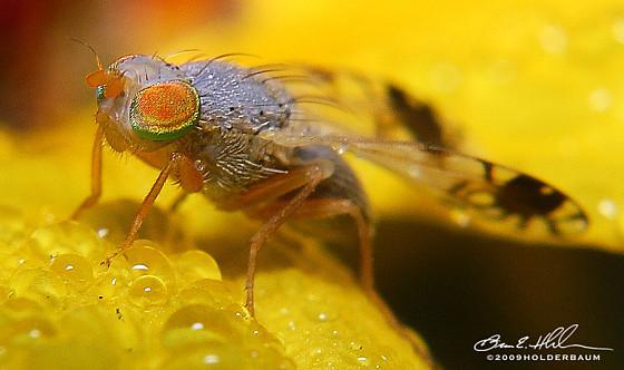 Fruit Fly  - Trupanea eclipta - male