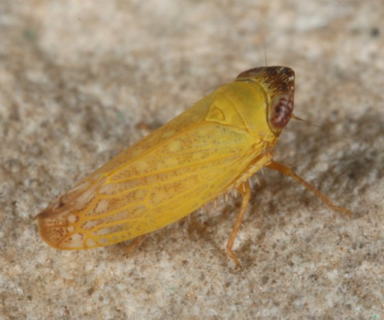 hopper 34 - Scaphytopius nigricollis