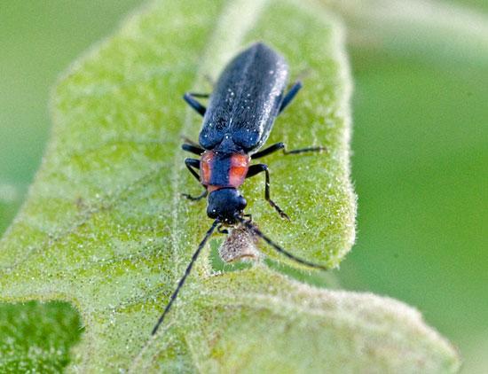 black & red beetle - Rhagonycha lineola