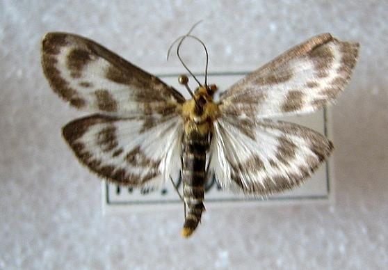 Unid. Moth, Central Oregon coast, USA - Anania hortulata