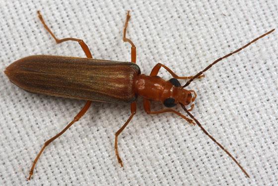 oedemerid - Xanthochroa testacea