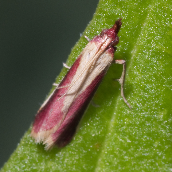 Raspberry Colored moth - Peoria approximella