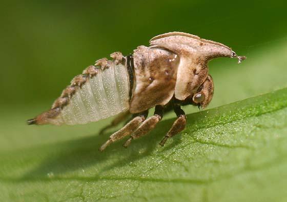Treehopper exuvia - C. latipes? - Enchenopa latipes
