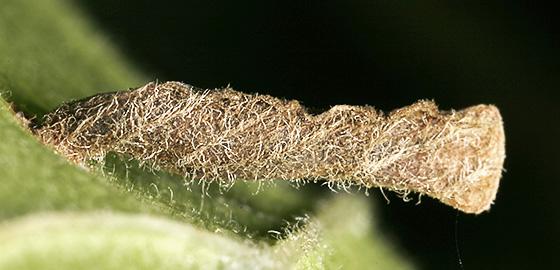 Coleophora limosipennella