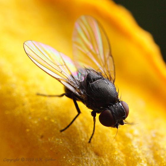 Little Black Gnats In My Bathroom: Tiny Black Flies
