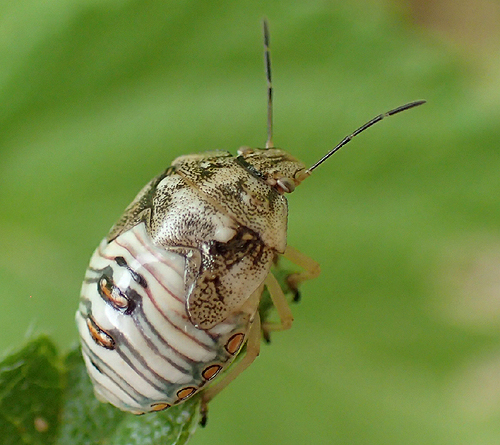 5th-instar Thyanta custator - Thyanta custator