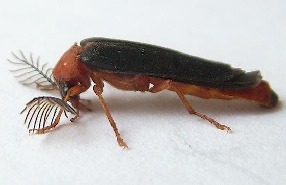 Western Banded Glowworm Beetle - Zarhipis integripennis - male
