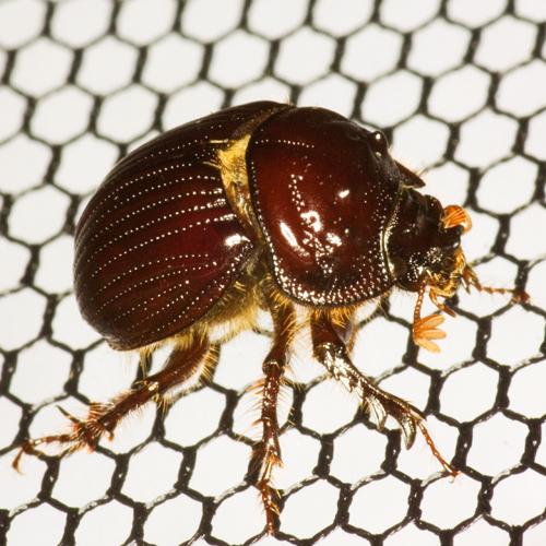 Earth-Boring Dung Beetle - Eucanthus lazarus