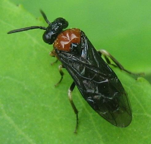 Blennocampinae? - Eutomostethus ephippium