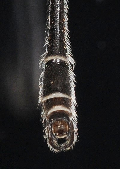 Tail - Bittacomorpha clavipes - male