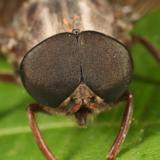 Horse Fly - Merycomyia whitneyi - male