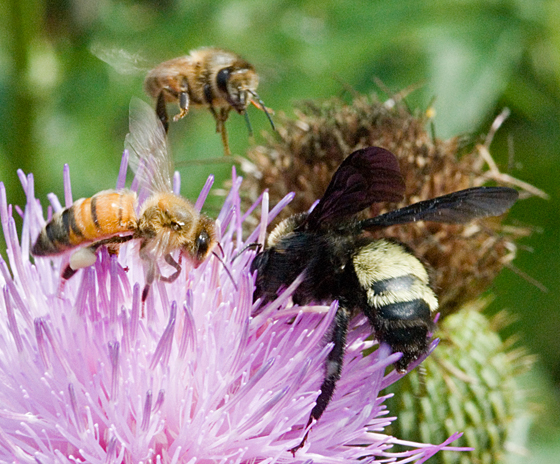 Robber Bees - Apis mellifera