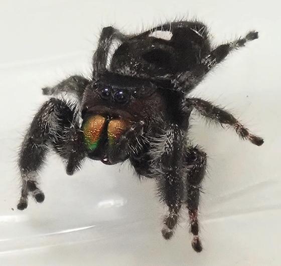 Phidippus audax - female