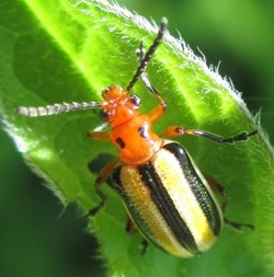 Beetle - Lema daturaphila