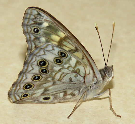 Hackberry Emperor - Hodges#4557 - Asterocampa celtis - male