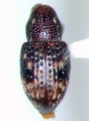 Weevil - Tyloderma laporteae