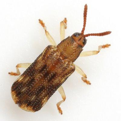 Sumitrosis inaequalis (Weber) - Sumitrosis inaequalis