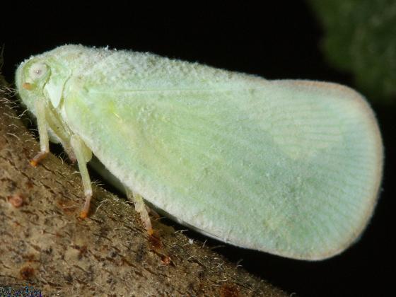 Planthopper - Ormenoides venusta