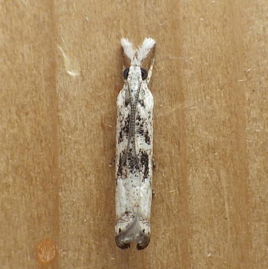 Crambidae: Microcrambus elegans - Microcrambus minor
