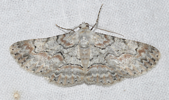 Brown-tinged gray moth - Iridopsis defectaria - male