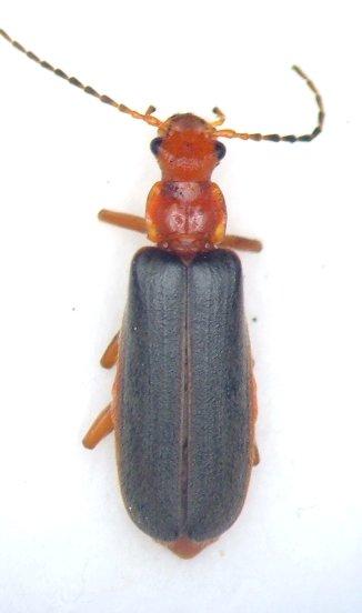 Podabrus tomentosus - female