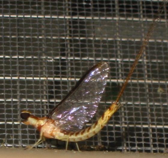 mayfly - Hexagenia - male