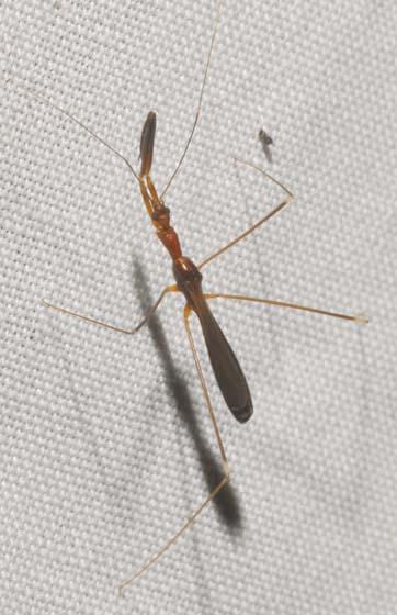 Thread-legged Bug - Gardena elkinsi