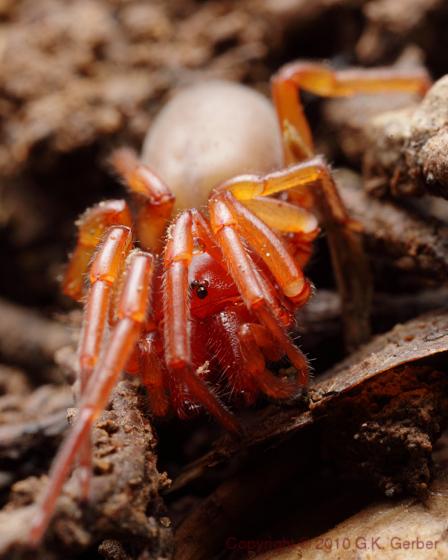 Red Spider, Woodlouse Hunter? - Dysdera crocata