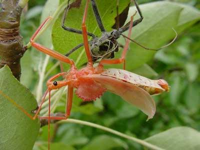 wheel bug (Arilus cristatus) molting - Arilus cristatus