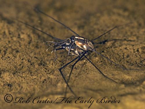 8016657 Gerridae - Metrobates hesperius - male - female