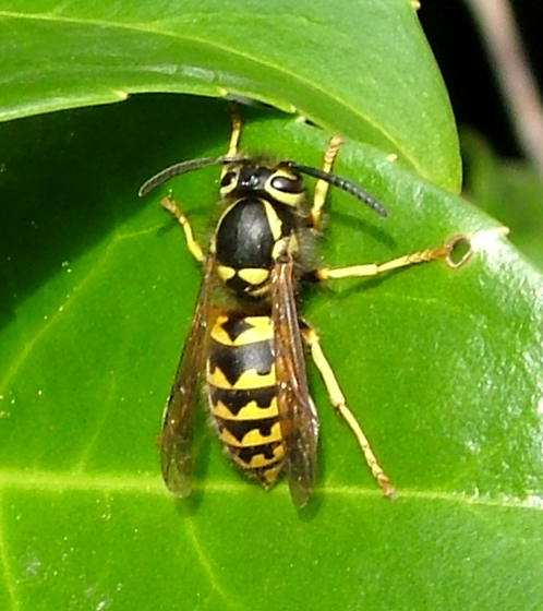 Western Yellowjacket Worker - Vespula pensylvanica - female
