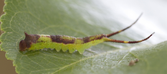 forked-tail caterpillar - Furcula