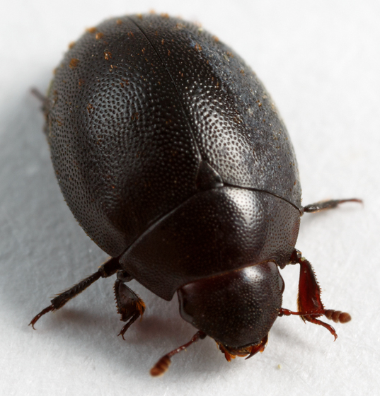 wounded-tree beetle - Nosodendron californicum
