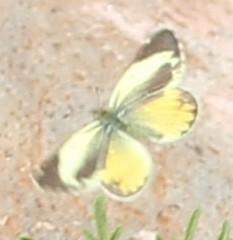 Eurema daira? white forewing seems off, not to mention range - Nathalis iole
