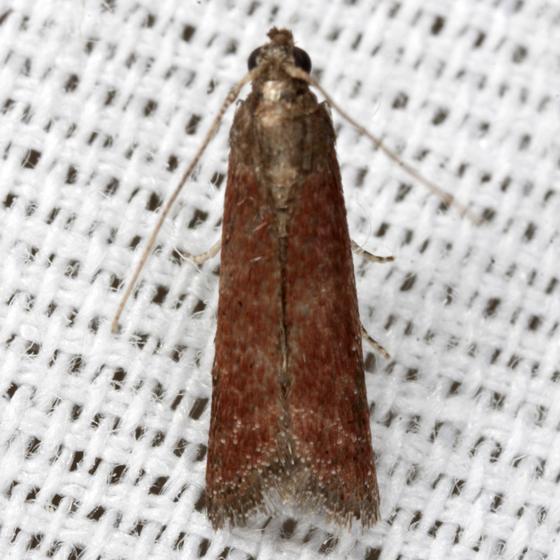 Varneria postremella - Hodges #6029 - Varneria postremella
