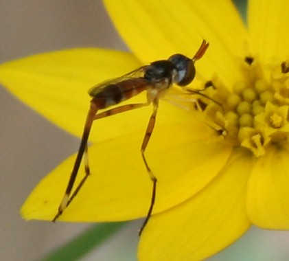 Some type of fly? - Stylogaster neglecta - female