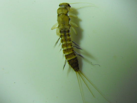 Pronggilled Mayfly - Paraleptophlebia