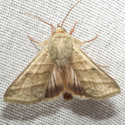 Tobacco Budworm Moth - Hodges #11071 - Chloridea virescens