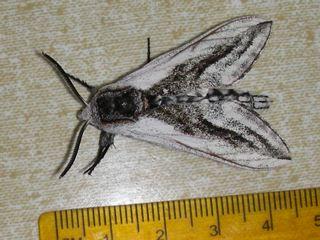 Unk Moth #43 - Sagenosoma elsa