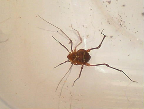 Harvestman, Species:Vonones ornata - Vonones ornatus