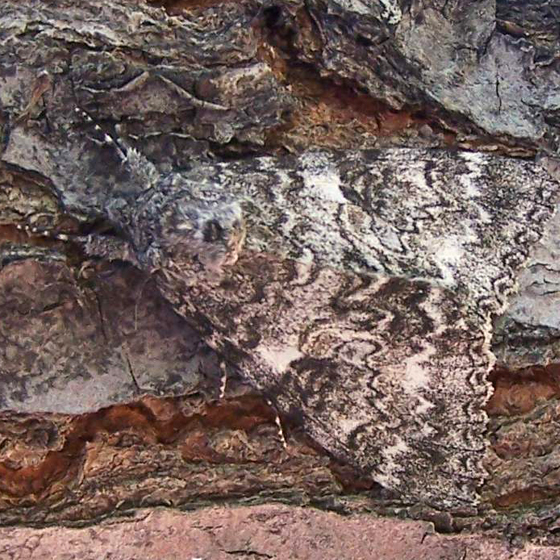 What type of camouflage moth is this? It is quite large, almost 3 inches - Catocala unijuga
